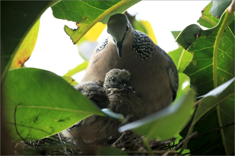 鳩の子育て定点観測 /2014.5.30_e0155629_12203430.jpg