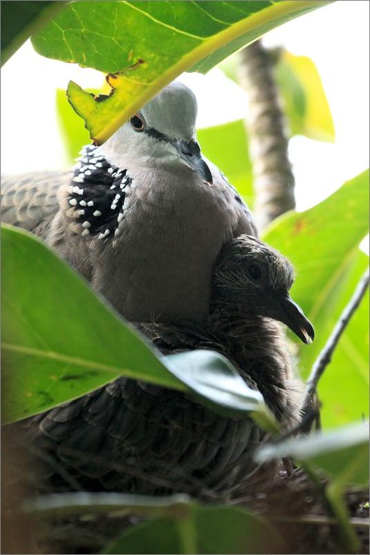 鳩の子育て定点観測 /2014.5.30_e0155629_12232438.jpg