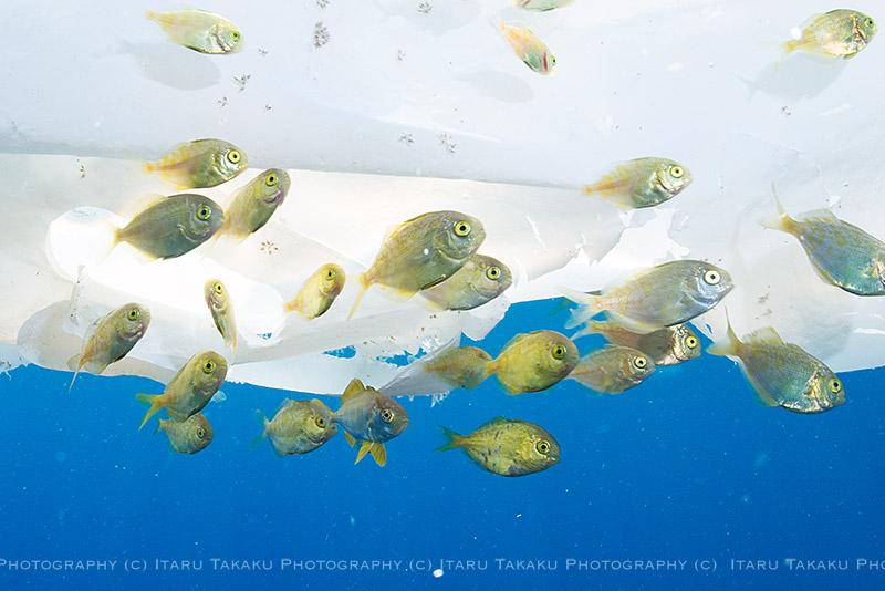 ギンガメの群れに、、、ハンマー!!!_b0186442_1535621.jpg