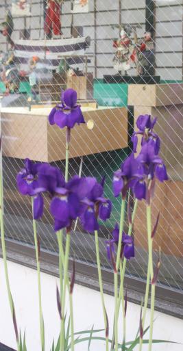蔵織の五月人形の前に咲いた花は、しょうぶかアヤメかカキツバタか?_d0178448_09014750.jpg