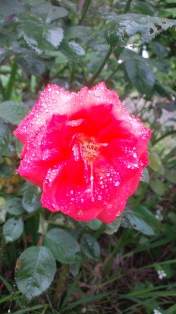 梅雨の庭_f0349957_20323619.jpg
