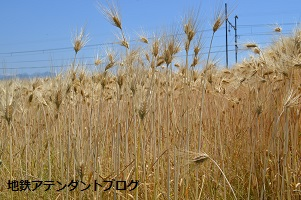 地鉄沿線を撮ってみました!黄金の景色編_a0243562_15430331.jpg