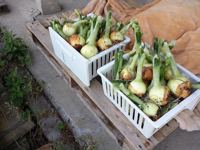 今年の玉ねぎ収穫_f0192307_542179.jpg