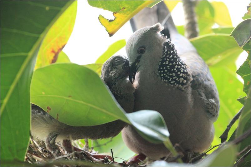 鳩の子育て定点観測 /2014.6.1_e0155629_20495821.jpg