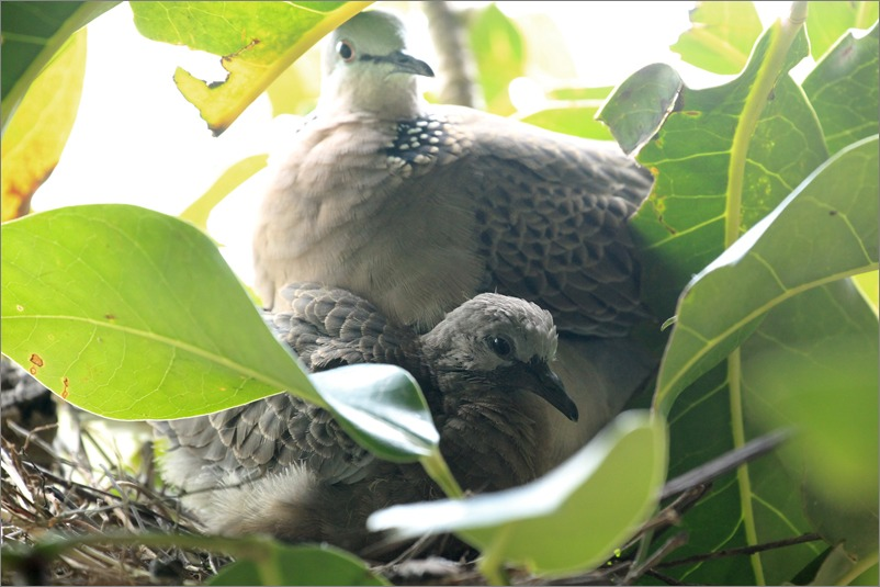 鳩の子育て定点観測 /2014.6.1_e0155629_20562081.jpg