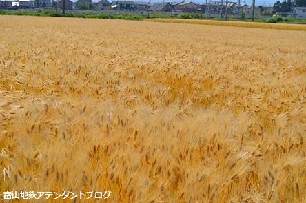 地鉄沿線を撮ってみました!黄金の景色編_a0243562_14443164.jpg