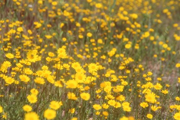 SKY140602 黄色い花の咲く丘に思わず足を止める_d0288367_16132524.jpg