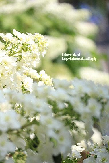 紫陽花・1_f0299486_1383992.jpg