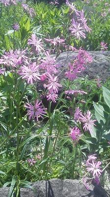ロックガーデンの花たち4_b0219993_12394343.jpg