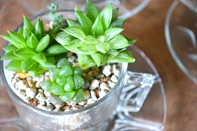 涼しげな多肉植物と食虫植物_d0263815_13392254.jpg