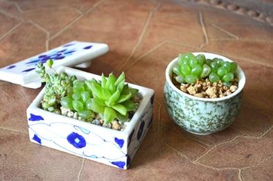 涼しげな多肉植物と食虫植物_d0263815_13474579.jpg
