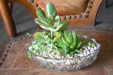 涼しげな多肉植物と食虫植物_d0263815_13555598.jpg