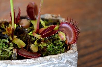 涼しげな多肉植物と食虫植物_d0263815_1417688.jpg