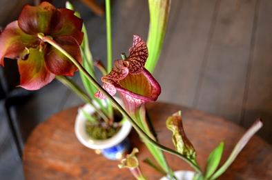 涼しげな多肉植物と食虫植物_d0263815_1428441.jpg