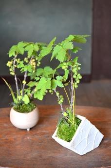 涼しげな多肉植物と食虫植物_d0263815_14442725.jpg