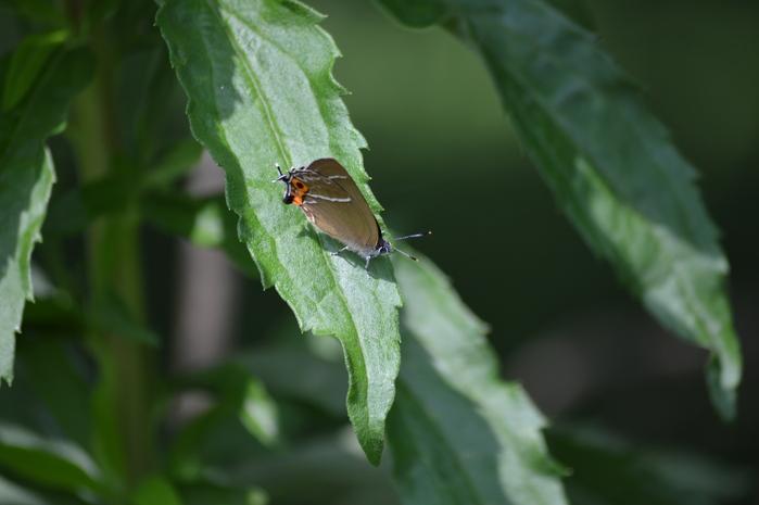 ミドリシジミ ♂の開翅_d0254540_1835898.jpg