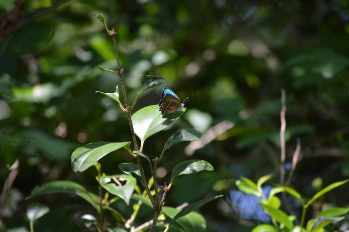 ミドリシジミ ♂の開翅_d0254540_18425075.jpg