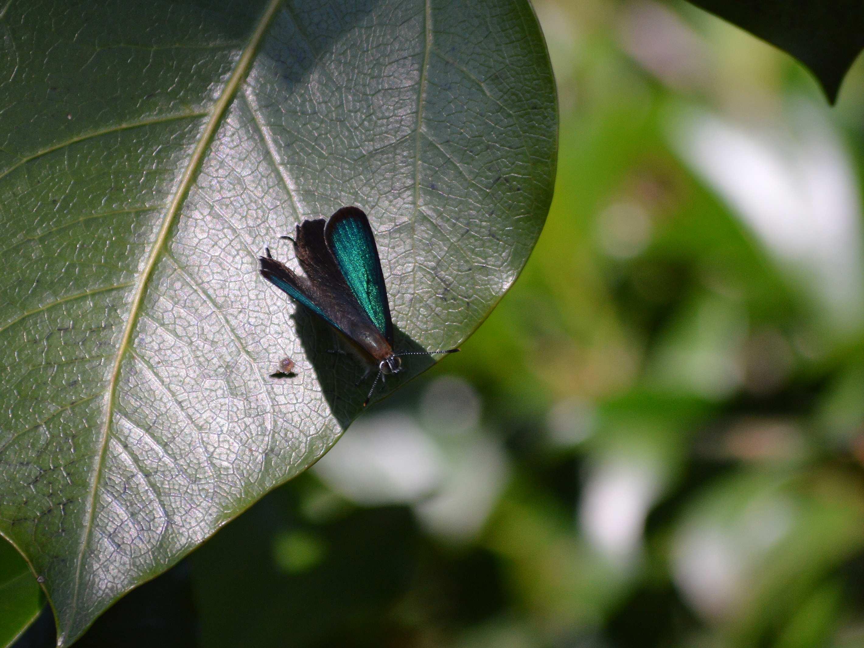 ミドリシジミ ♂の開翅_d0254540_18455356.jpg
