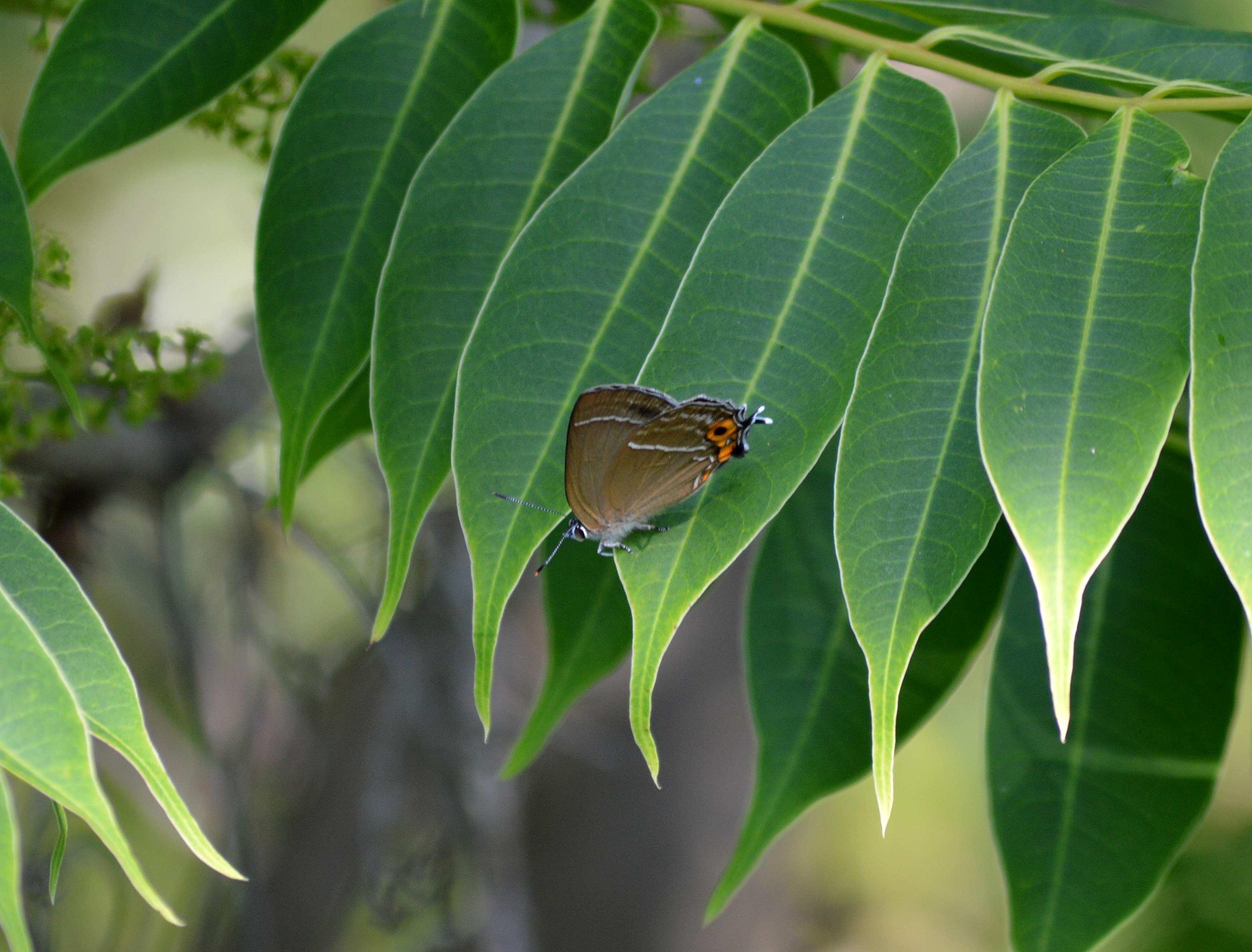 ミドリシジミ ♂の開翅_d0254540_18484788.jpg