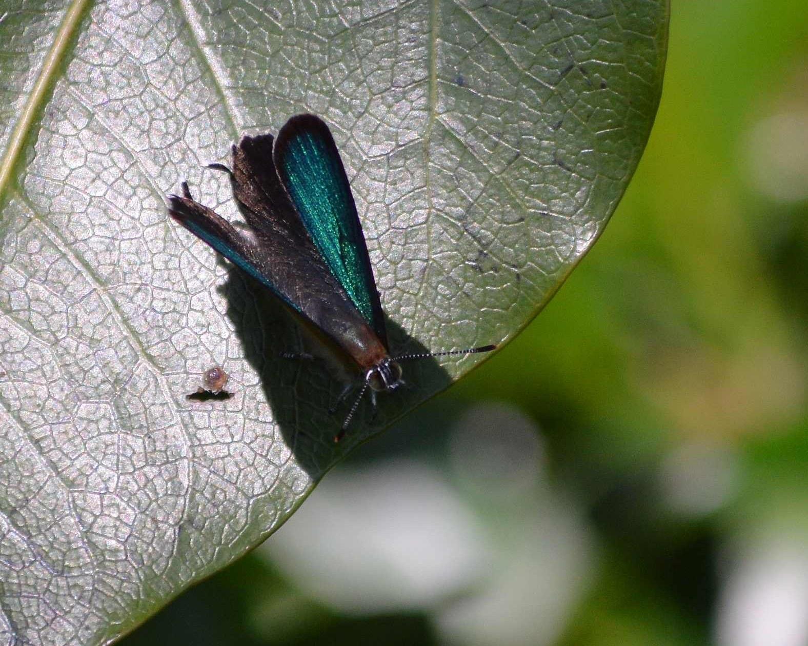 ミドリシジミ ♂の開翅_d0254540_1913043.jpg