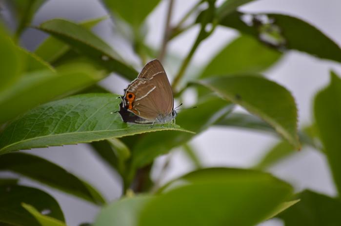 ミドリシジミ ♂の開翅_d0254540_1923859.jpg