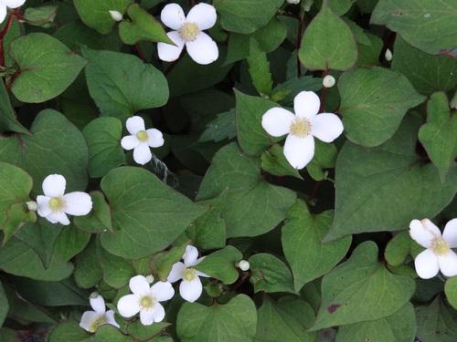 どくだみの白い花_e0240147_15124526.jpg