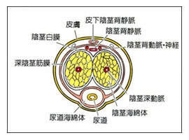 陰茎ペロニー病について_a0221584_15452130.jpg
