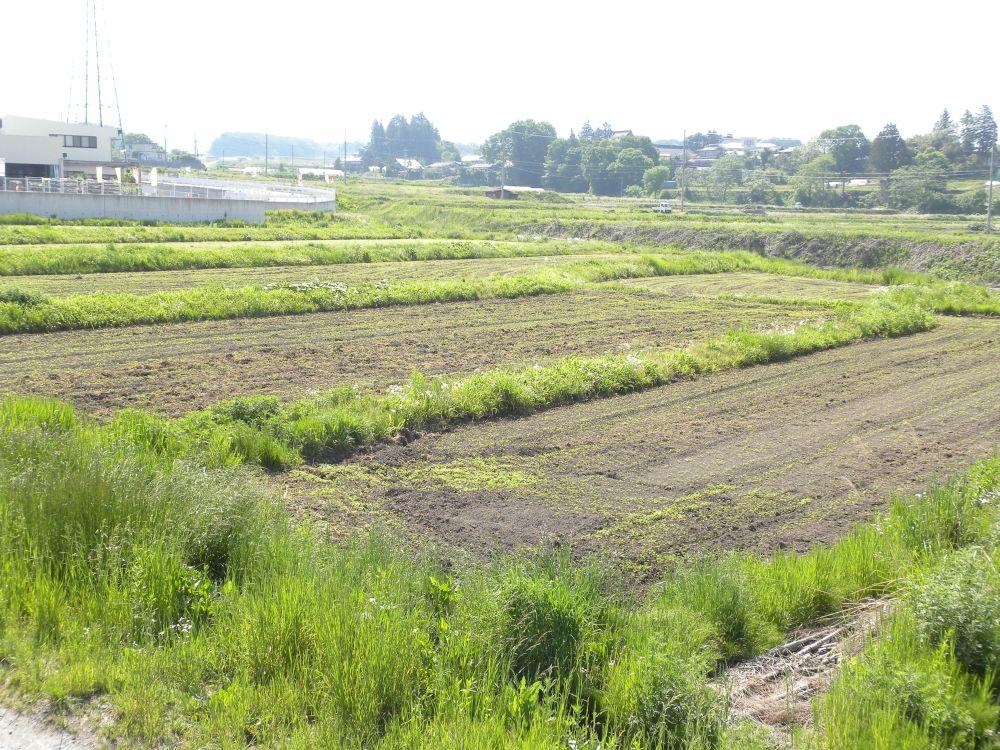 夏蕎麦の生育 順調です・・・。_b0329588_17390096.jpg