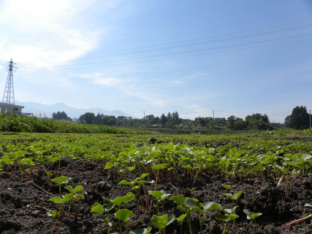 夏蕎麦の生育 順調です・・・。_b0329588_17391145.jpg