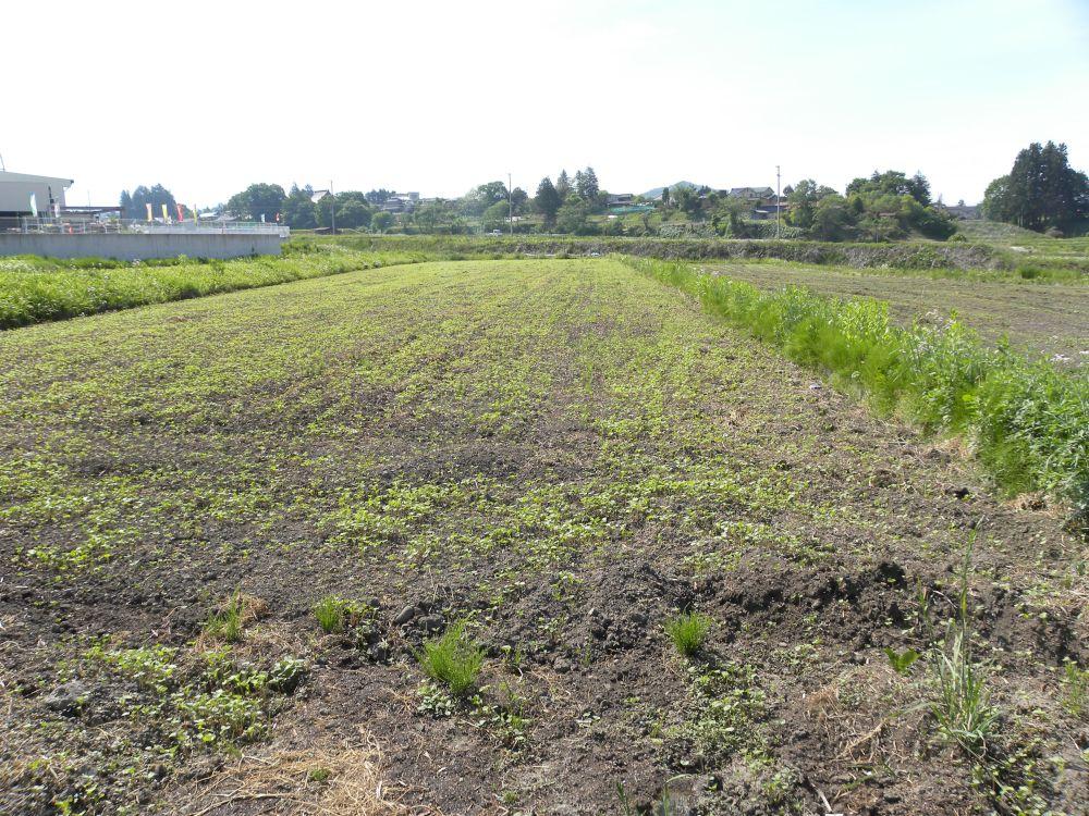 夏蕎麦の生育 順調です・・・。_b0329588_17391816.jpg