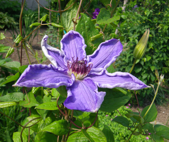 種から育ったクレマチスの開花♪_a0136293_12362733.jpg