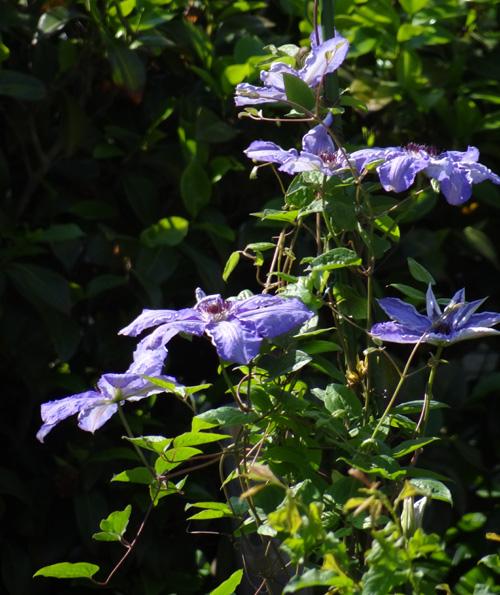種から育ったクレマチスの開花♪_a0136293_12491316.jpg