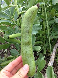 空豆を収穫しました_c0053520_23335653.jpg