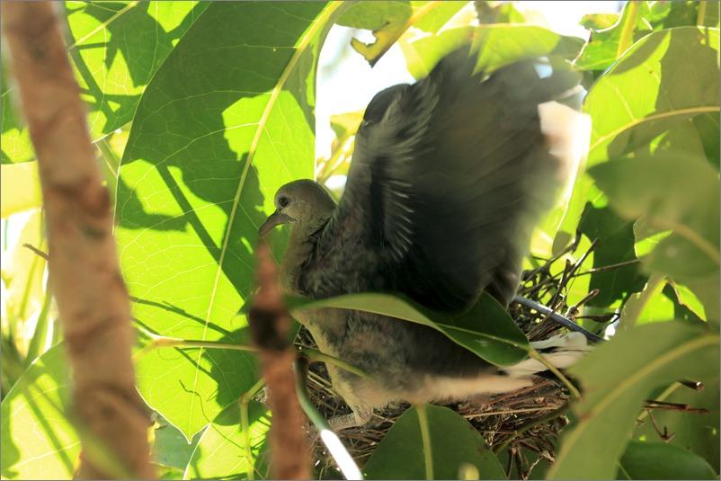 鳩の子育て、巣立ちの時 / 2014.6.4_e0155629_21445365.jpg