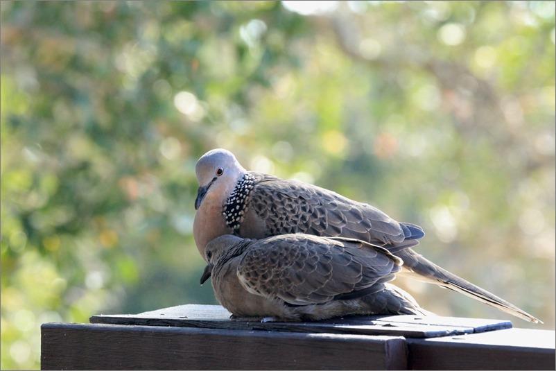 鳩の子育て、巣立ちの時 / 2014.6.4_e0155629_22171994.jpg