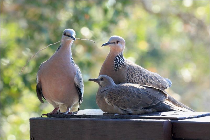鳩の子育て、巣立ちの時 / 2014.6.4_e0155629_22193657.jpg