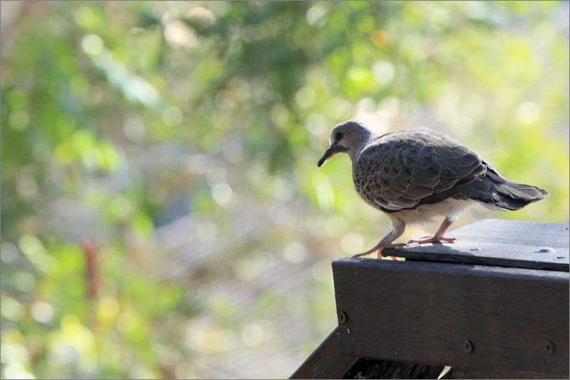 鳩の子育て、巣立ちの時 / 2014.6.4_e0155629_22205237.jpg