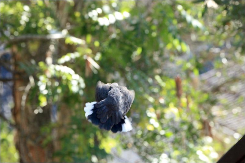 鳩の子育て、巣立ちの時 / 2014.6.4_e0155629_22214534.jpg