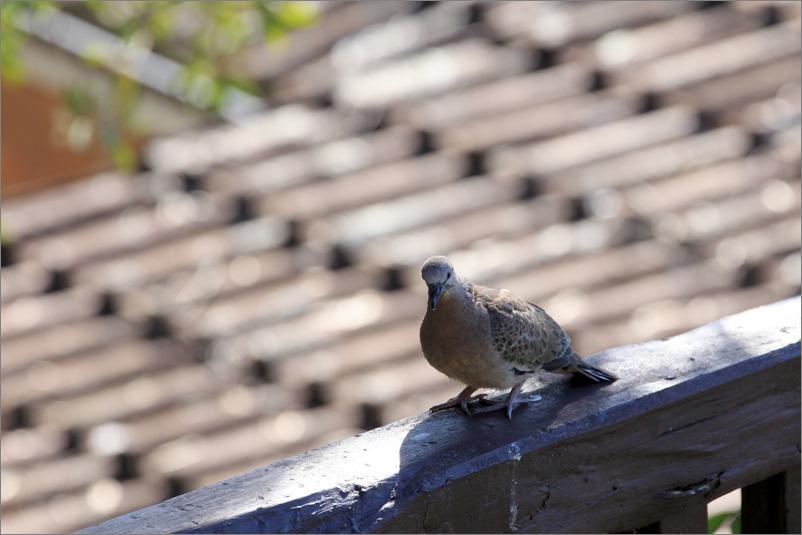 鳩の子育て、巣立ちの時 / 2014.6.4_e0155629_22225123.jpg