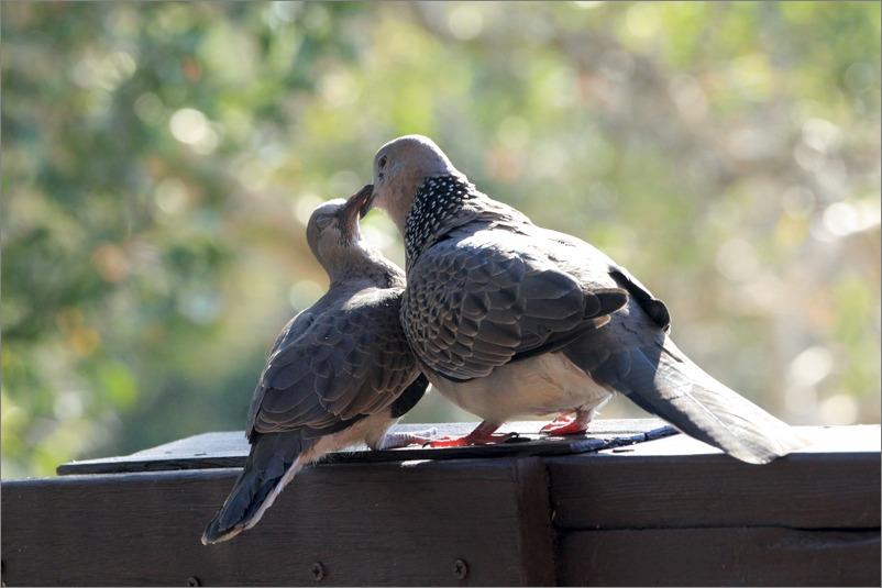 鳩の子育て、巣立ちの時 / 2014.6.4_e0155629_2252051.jpg