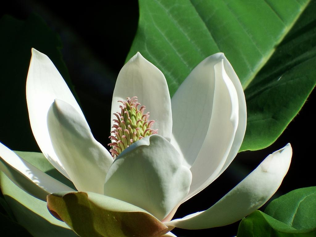 ホオノキの花_f0138096_22192412.jpg