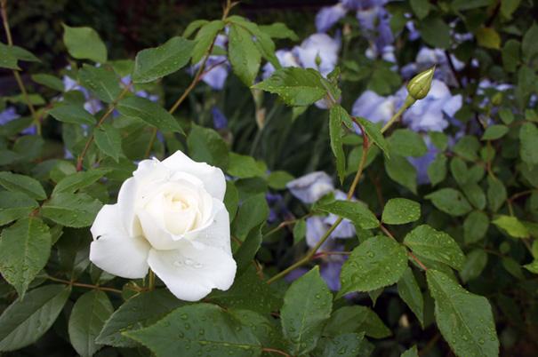 咲いちまいました_f0160407_5173026.jpg