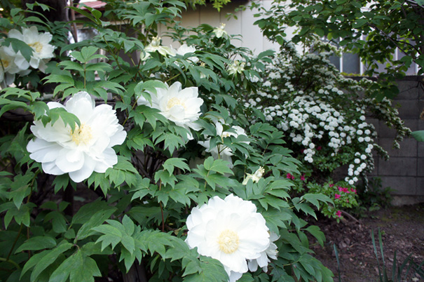咲いちまいました_f0160407_5231336.jpg