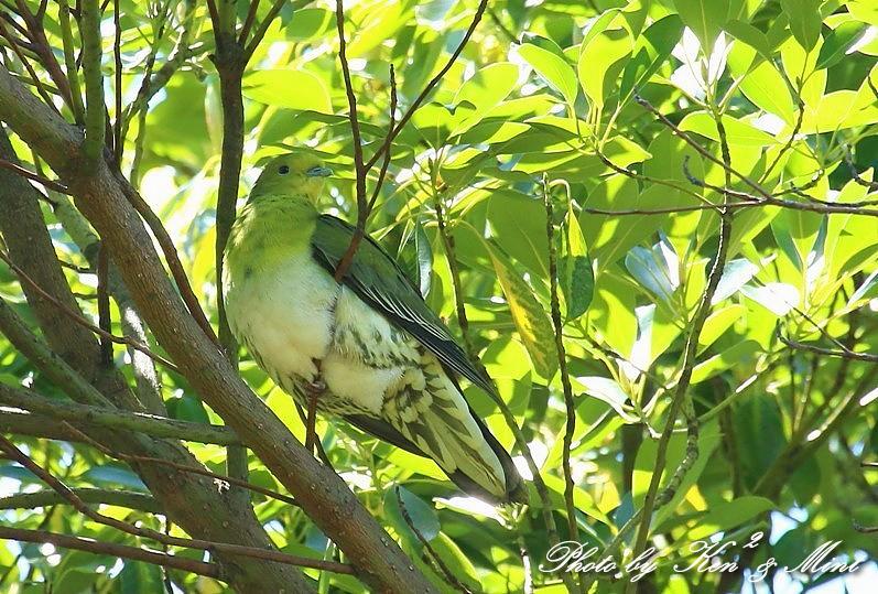超 超 超珍鳥 「カラアカハラ」 さん続き& 「アオバト」 さん♪_e0218518_17364328.jpg