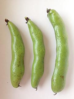 空豆を収穫しました_c0053520_0331117.jpg