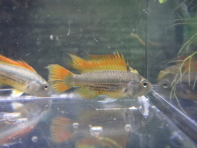 140605 熱帯魚・侘び草・水草_f0189122_13494086.jpg