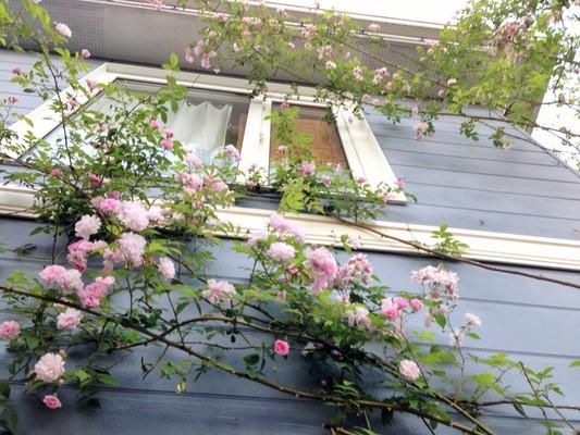 薔薇が咲いた♪_c0261447_22512764.jpg