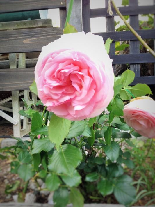薔薇が咲いた♪_c0261447_2251339.jpg