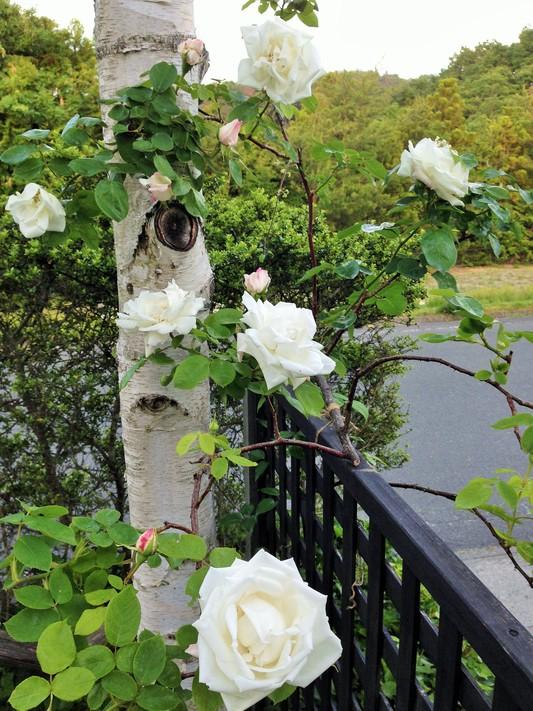 薔薇が咲いた♪_c0261447_22514922.jpg