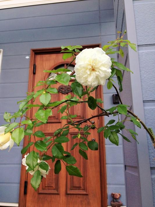 薔薇が咲いた♪_c0261447_22522589.jpg